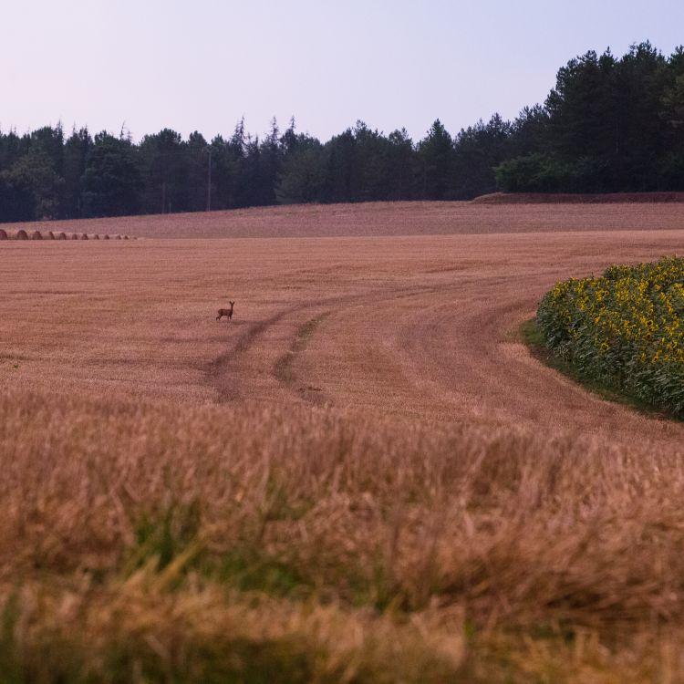 hertje in het veld