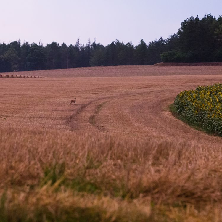 hert in het veld